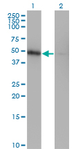 WB - ZNF24 Antibody (monoclonal) (M03) AT4613a