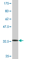 WB - ZNF266 Antibody (monoclonal) (M02) AT4619a