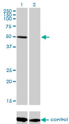 E - ZNF277 Antibody (monoclonal) (M01) AT4622a