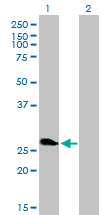 WB - ZNF313 Antibody (monoclonal) (M01) AT4627a