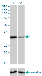 WB - ZNF346 Antibody (monoclonal) (M01) AT4629a