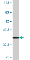 WB - ZNF396 Antibody (monoclonal) (M01) AT4635a