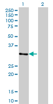 WB - ZNF397 Antibody (monoclonal) (M02) AT4636a