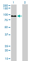 WB - ZW10 Antibody (monoclonal) (M05) AT4649a