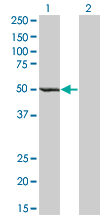 WB - ZWILCH Antibody (monoclonal) (M01) AT4650a