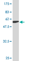 WB - ZWINT Antibody (monoclonal) (M04) AT4652a
