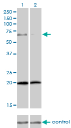 WB - ZYX Antibody (monoclonal) (M01) AT4653a