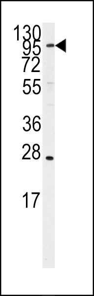WB - ARTS1 Antibody (Center) AP7859c