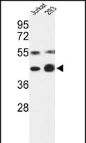 WB - COPS3 Antibody (Center) AP7863c