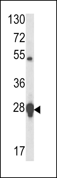 WB - HSP27 Antibody (Center) AP7199e