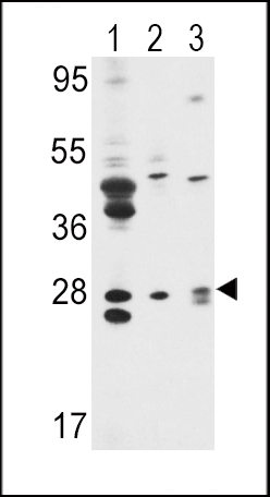 WB - ELF5 Antibody (Center) AP7394C