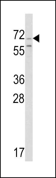 WB - Chromogranin-C Antibody (Center) AP6796c