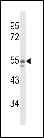 WB - NAMPT Antibody (Center) AP9010c
