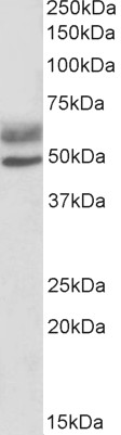 WB - Goat Anti-AIRE (isoforms 1 and 2) Antibody AF1041c