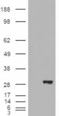 WB - Goat Anti-BDH2 / DHRS6 (aa 60 to 71) Antibody AF1148a