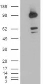 WB - Goat Anti-CDCP1 (isoform 1: C term) Antibody AF1219a