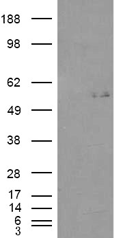 WB - Goat Anti-C2GnT-M (aa 273 to 284) Antibody AF1473a