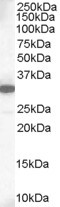 WB - Goat Anti-MCL1 Antibody AF1659a