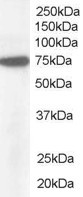 WB - Goat Anti-Pericentrin 1 / NUP85 Antibody AF1811a