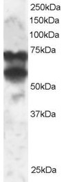 WB - Goat Anti-PPP2R5D Antibody AF1857a
