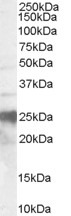 WB - Goat Anti-Prion Protein (143-153) Antibody AF1864a