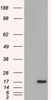 WB - Goat Anti-SH2D1A/SLAM associated protein Antibody AF1985b