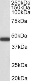 WB - Goat Anti-Smooth muscle alpha-actin Antibody AF2010a