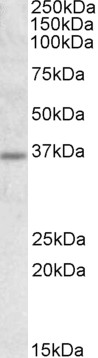 WB - Goat Anti-Uncoupling protein 2 / UCP2 Antibody AF2135a