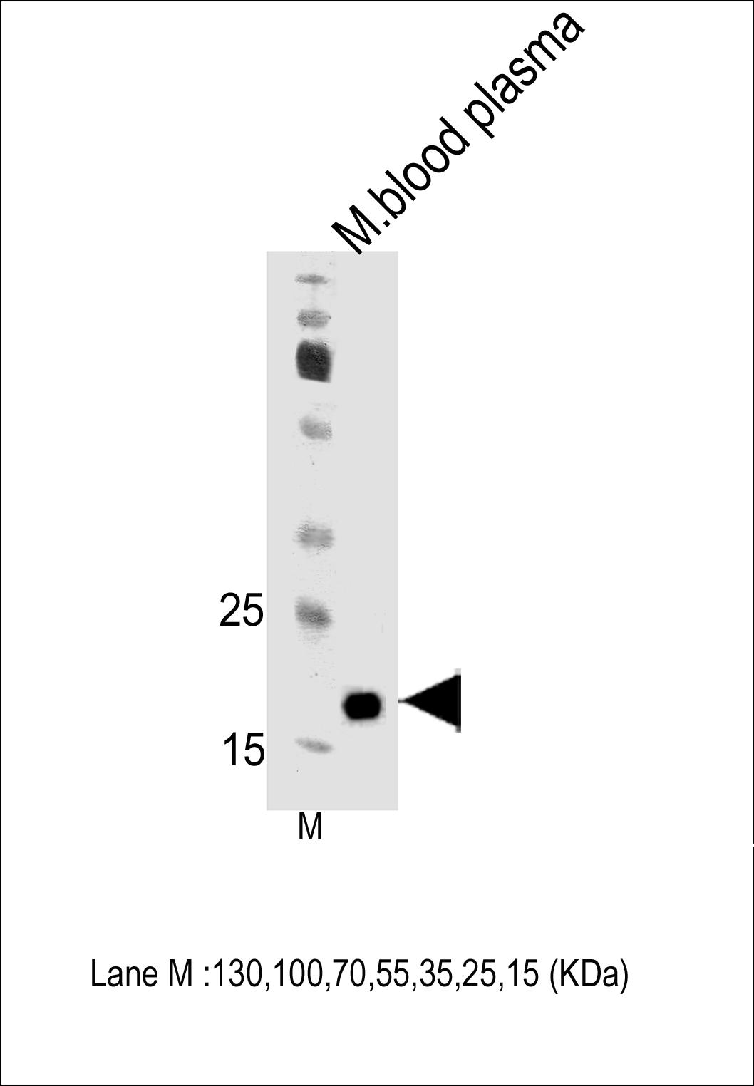 WB - Mouse Apom Antibody (Center) AP18753c