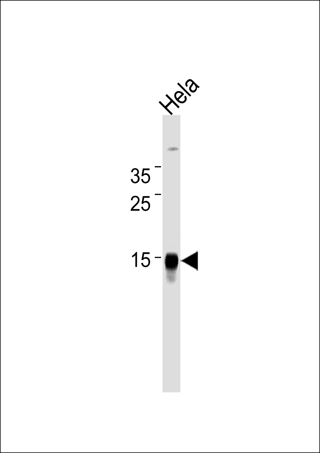WB - CDA Antibody (Center) AM2218b