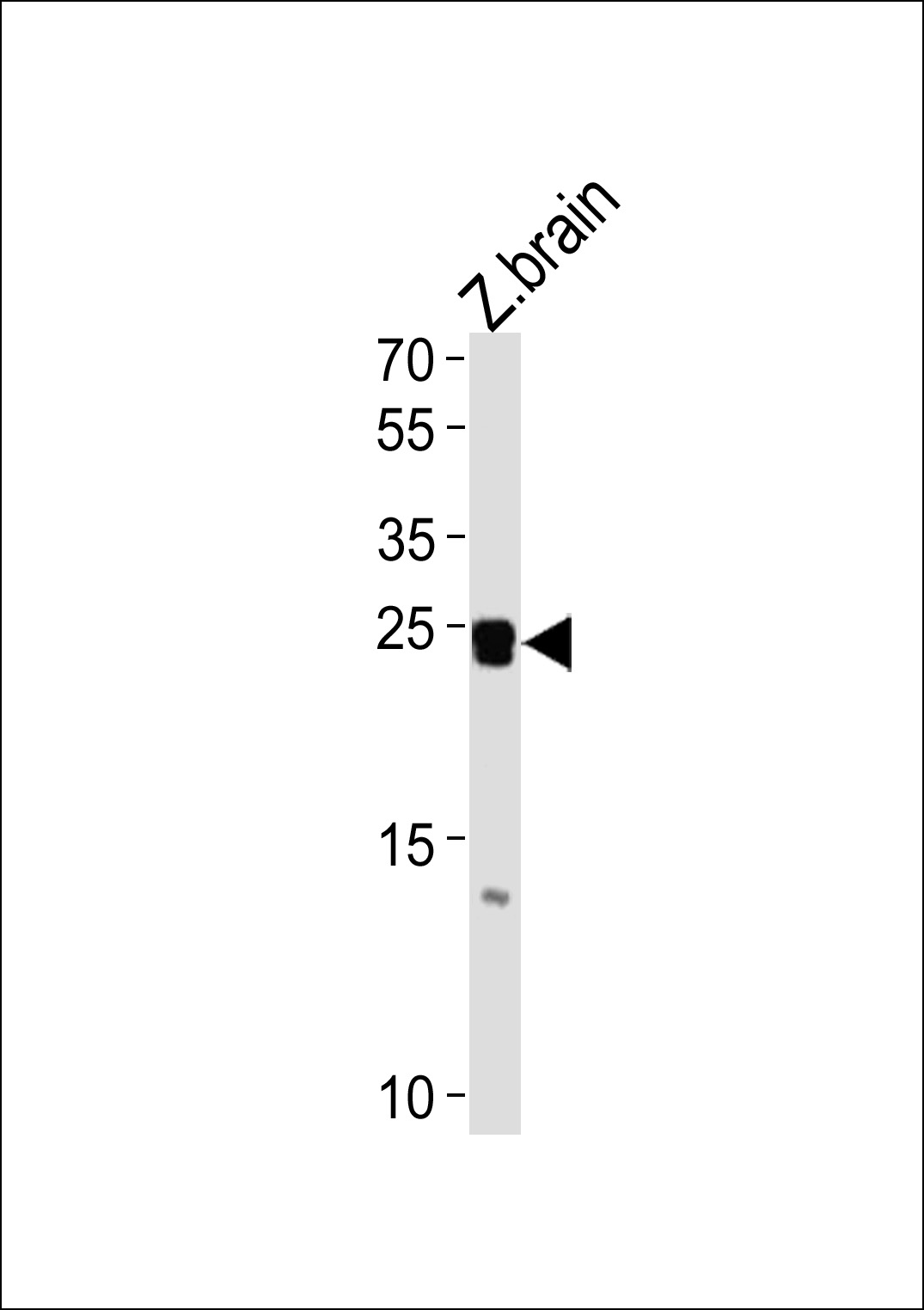 WB - DANRE neurog1 Antibody (Center) Azb10027b