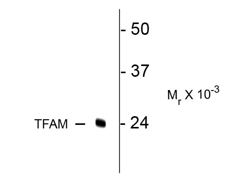 WB - TFAM (Transcription Factor A, mitochondrial) Antibody AN1221