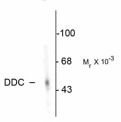 WB - DOPA Decarboxylase Antibody AN1032