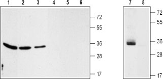 WB - Pan Voltage Dependent Anion Channels Antibody Antibody AG1003-050