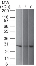 -  PGP9.5 / UchL1 (pan-Neuronal Marker) Antibody - With BSA and Azide AH10031