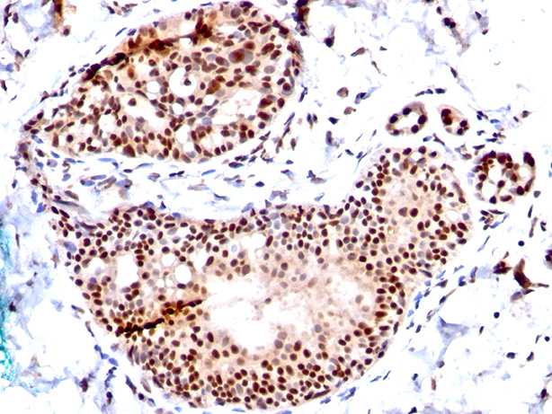 -  SUMO-1 Antibody - With BSA and Azide AH10329