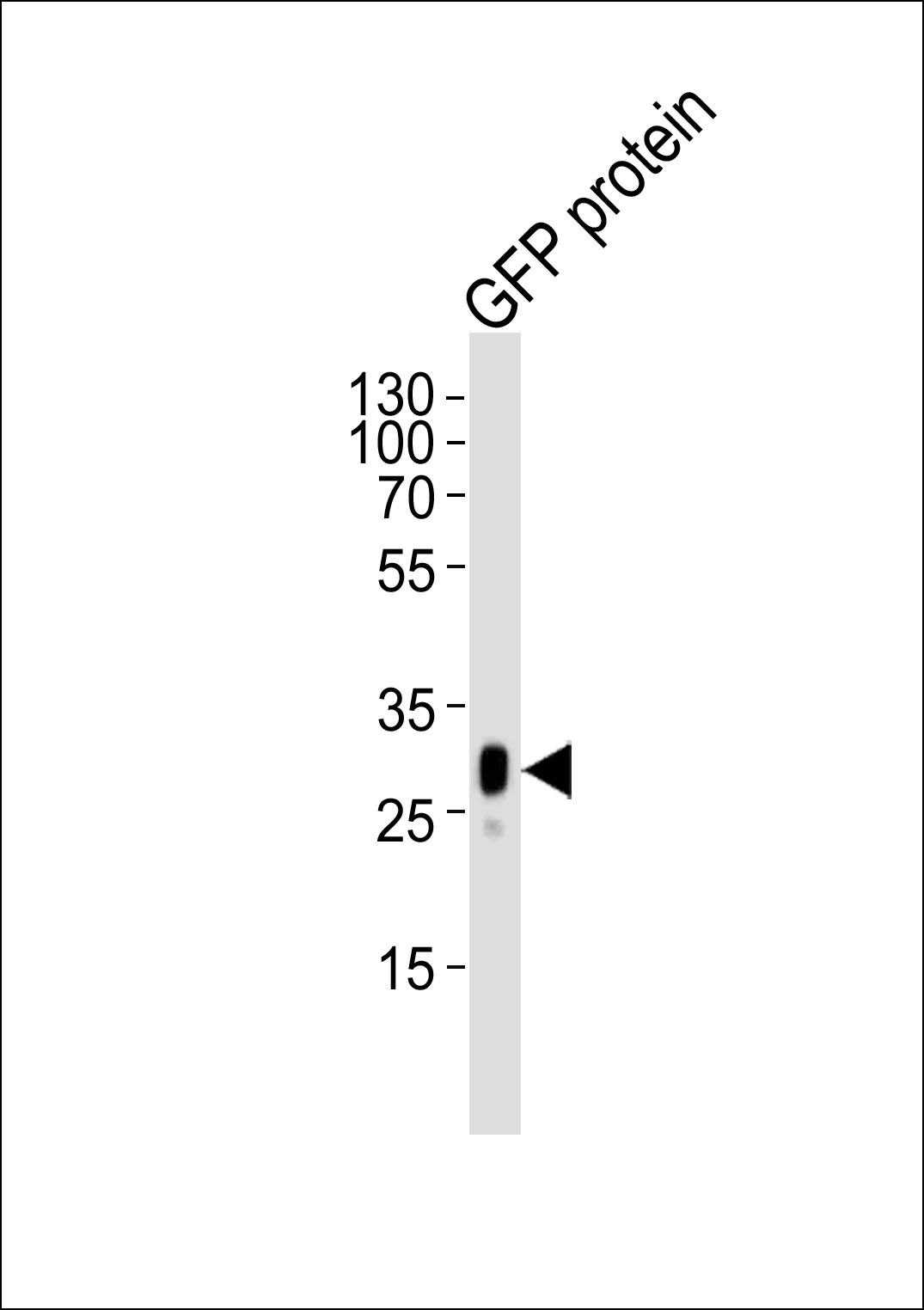 WB - GFP Tag Antibody AM1009a