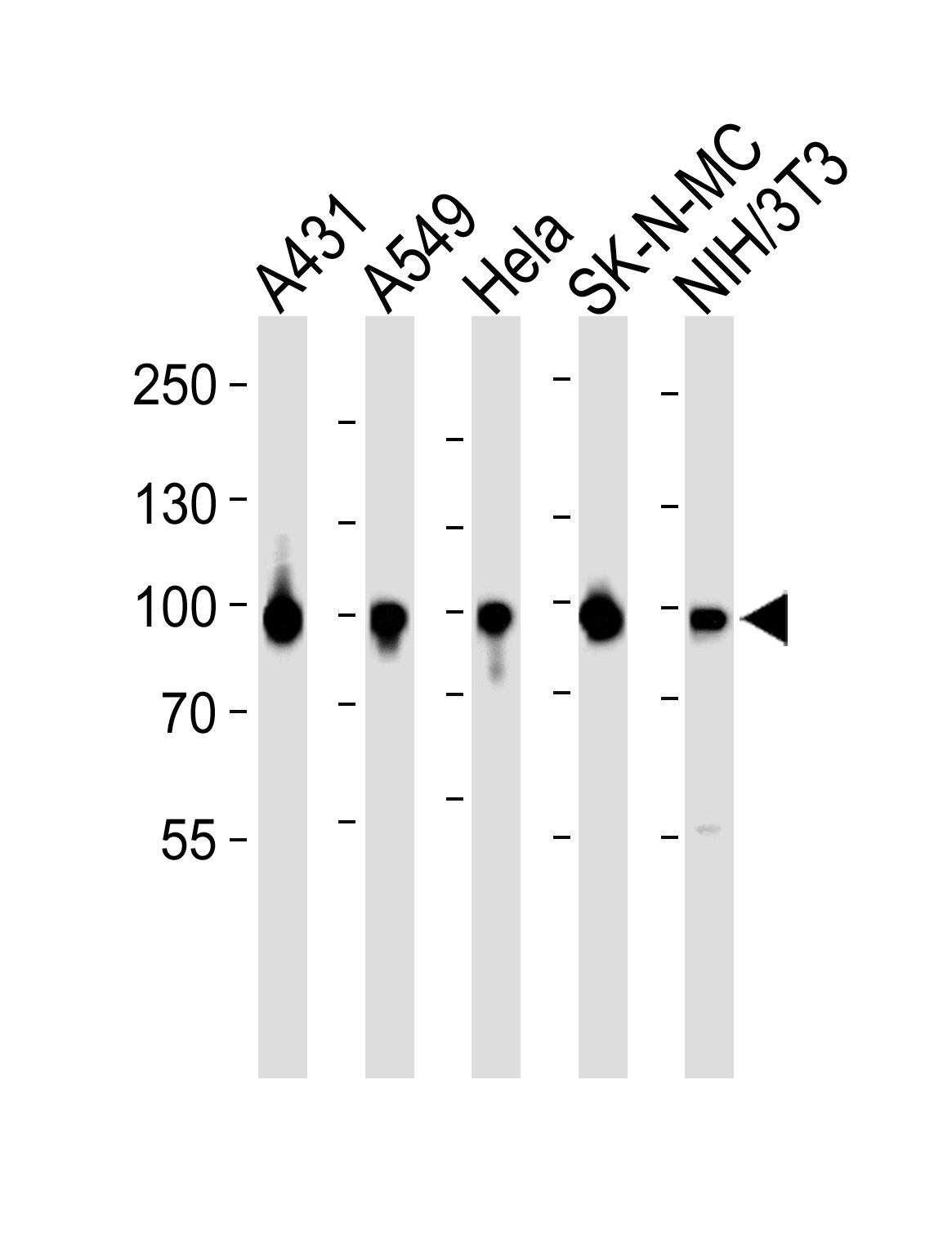 WB - HSP90 Antibody (Center) AP20646c