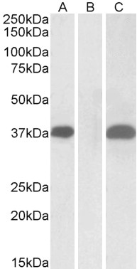 WB - PIM2 (Internal) Antibody (internal region) AF2477a