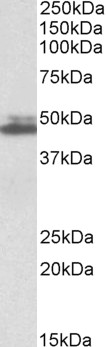 WB - Endophilin-A2 Antibody (internal region) AF3451a