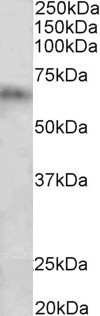 WB - Cyp2d5 / Cyp2d10 (rat) Antibody (internal region) AF3476a