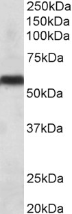 WB - cytochrome P450 2C8 Antibody (internal region) AF3610a