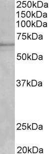 WB - Cytochrome P450 1A2 (mouse) Antibody (internal region) AF3648a