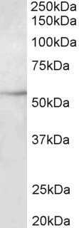 WB - TUBB3 Antibody (internal region, near N-Term) AF3836a
