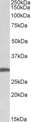 WB - FGF13 (isoform 1) Antibody (internal region) AF3890a