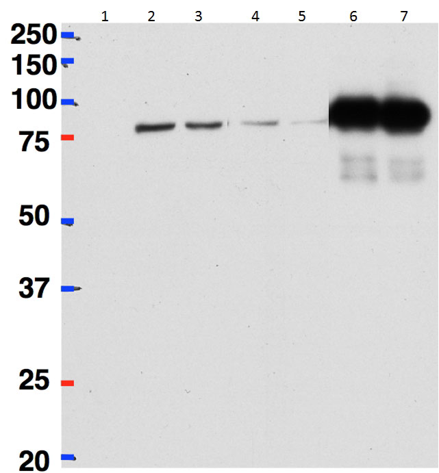 WB - betaCstF-64 variant 1/ betaCstF-64 variant 3 (mouse) Antibody (internal region) AF3891a