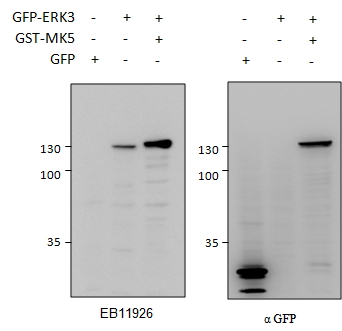 WB - ERK3 / MAPK6 Antibody (internal region, near C-Term) AF3922a