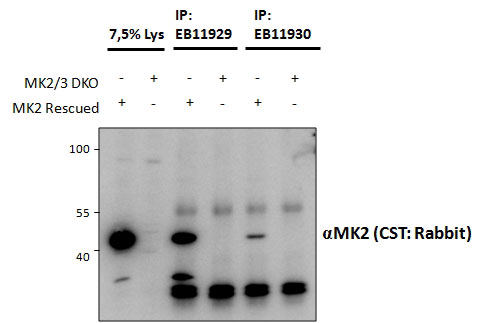 IP - MK2 / MAPKAPK2 Antibody (internal region, near C-Term) AF3925a