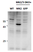WB - MK2 / MAPKAPK2 Antibody (internal region, near C-Term) AF3925a
