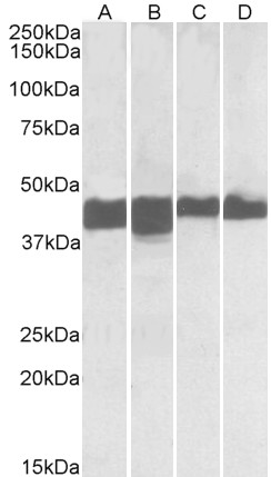 WB - creatine kinase M-type Antibody (N-Term) AF3953a